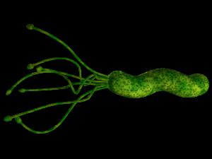 bakteria hp